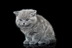 British kitten cat Stock Image