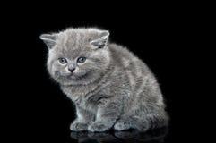 British kitten cat Stock Image