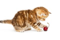 British  kitten and  cherry Stock Photography