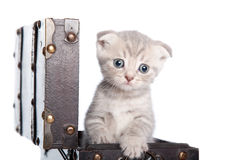 British kitten in a chest Stock Photo