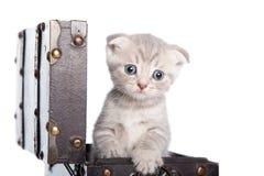 British kitten in a chest Stock Photo