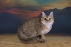 British kitten chinchilla golden color in desert Royalty Free Stock Photos