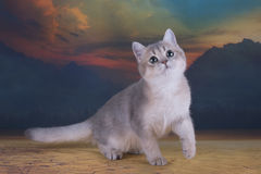 British kitten chinchilla golden color in desert Royalty Free Stock Photography