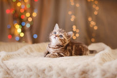 British kitten, Christmas and New Year Royalty Free Stock Photography
