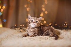 British kitten, Christmas and New Year Stock Photo