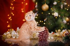 British kitten, Christmas and New Year Royalty Free Stock Image
