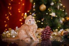 British kitten, Christmas and New Year Stock Image