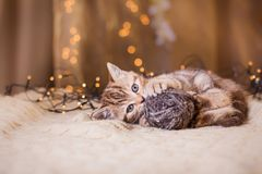 British kitten, Christmas and New Year Stock Photography
