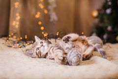 British kitten, Christmas and New Year Stock Images