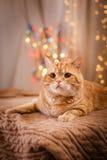 British kitten, Christmas and New Year Royalty Free Stock Photo