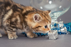 British kitten and Christmas toys Royalty Free Stock Photos