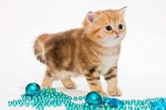 British kitten and Christmas toys Stock Photo