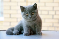 British kitten. British cute kitten, piercing eyes Stock Image