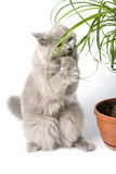 British kitten eating green plant Royalty Free Stock Photos