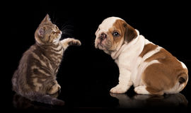 British kitten and english Bulldog puppy Stock Photo