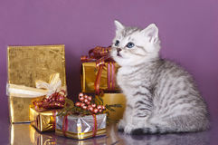 British kitten and gifts Royalty Free Stock Photos