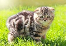 British kitten on grass looking Stock Photography