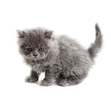 British kitten Stock Photos