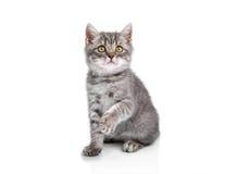 British kitten on hind legs, singing Stock Image