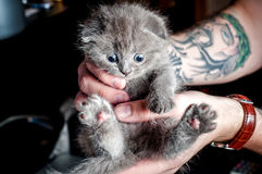British kitten in human hands Stock Photos