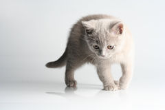 Free British Kitten In Studio Royalty Free Stock Image - 12478486