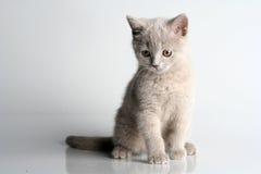 Free British Kitten In Studio Royalty Free Stock Photo - 12478505