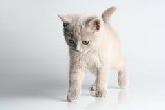 Free British Kitten In Studio Stock Images - 12478514