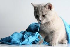 Free British Kitten In Studio Stock Images - 12478594