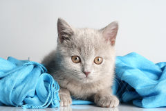 Free British Kitten In Studio Stock Images - 12478664