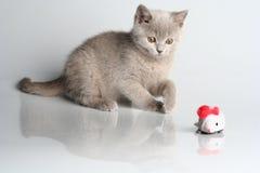 Free British Kitten In Studio Stock Images - 13076694