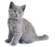 British kitten. Isolated on white background Stock Images