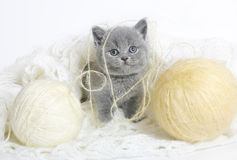 British kitten with knitting. British kitten with balls of wool on a white background Royalty Free Stock Images