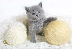 British kitten with knitting. British kitten with balls of wool on a white background Stock Image