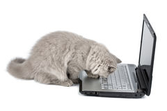 British kitten and laptop isolated Royalty Free Stock Photography
