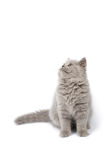 British kitten looking up isolated Stock Photos