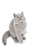 British kitten looking up isolated Royalty Free Stock Image