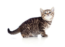 British kitten looking upward Royalty Free Stock Images