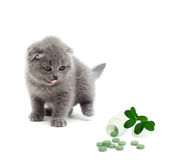 British kitten looking Stock Photography