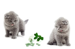 British kitten looking Stock Images