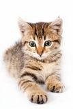 British kitten lying on a white background Royalty Free Stock Photo