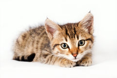 British kitten lying on a white background Stock Photography