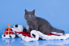 British kitten with the mantle of the king Stock Image
