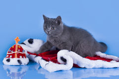 British kitten with the mantle of the king Royalty Free Stock Photography