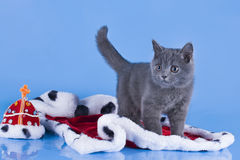 British kitten with the mantle of the king Royalty Free Stock Photos