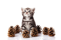 British kitten with pine cones on white. Stock Photos