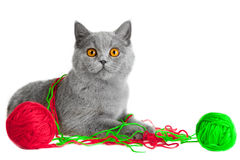 British kitten playing with balls of threads Royalty Free Stock Image