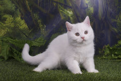 British kitten playing on the jungle.  Stock Photography