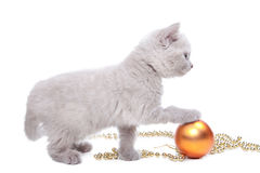 British kitten  playing with New Year decoration Royalty Free Stock Photos
