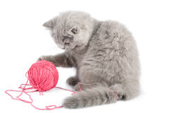 British kitten playing with pink clew isolated Royalty Free Stock Image