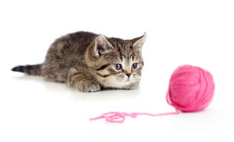 British kitten playing red clew or ball Stock Photos